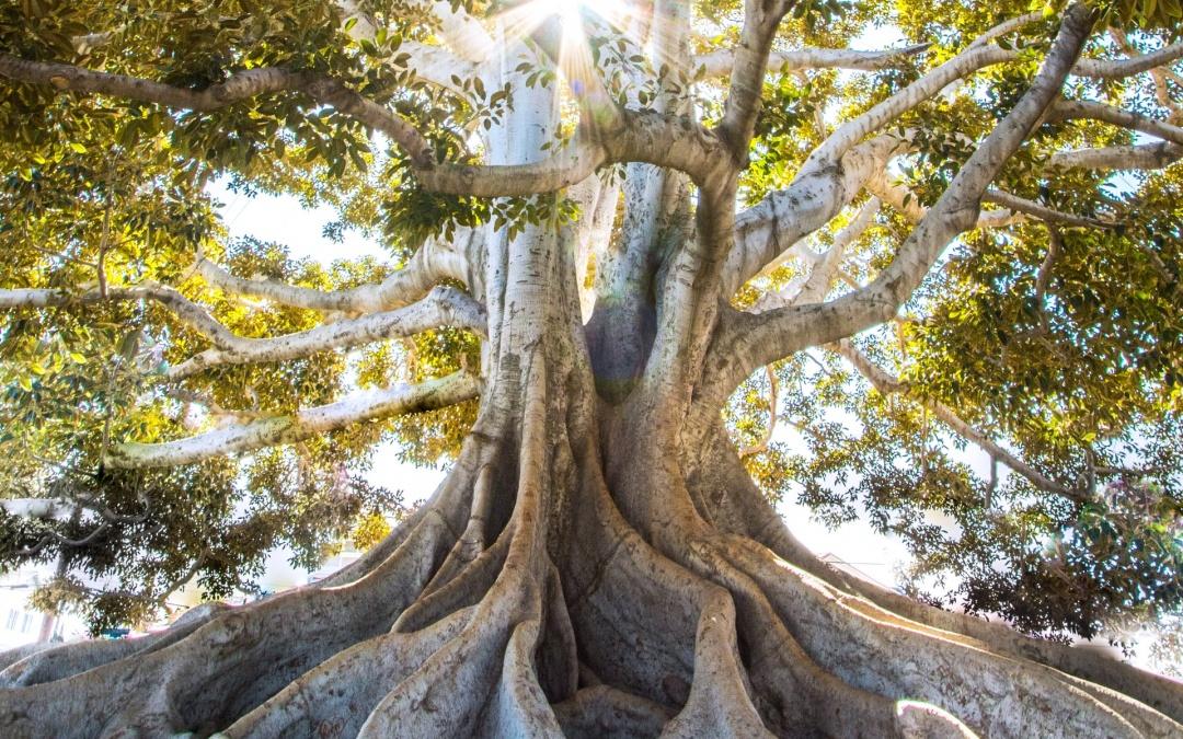 درخت پاک